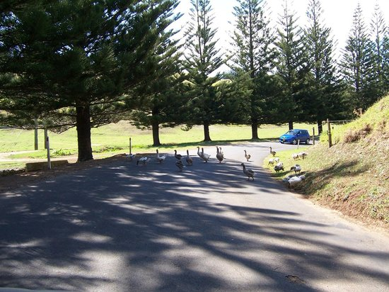 Norfolk Island Leagues Club: The Geese have Right of Way