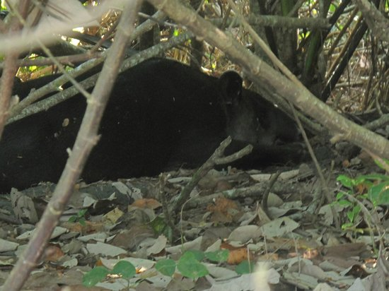 La Leona Eco Lodge : Tapir- Corcavado