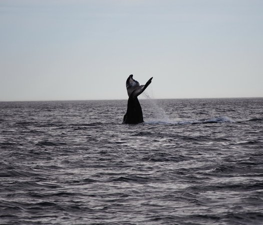 Eagle Wing Whale Watching Tours: tail slapping