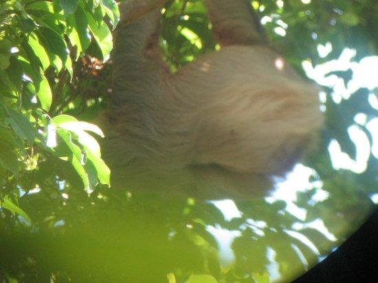 Playa Manuel Antonio : Sloth in the tree