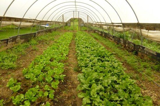 Polyface Farms: greens for the livestock