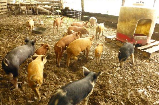 Polyface Farms: Pigs