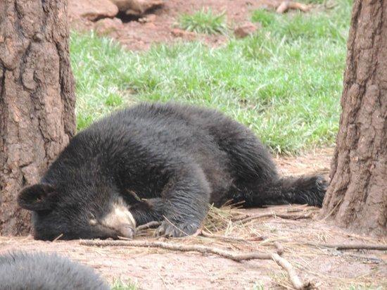 Bearizona Wildlife Park: Baby Bear sleeping
