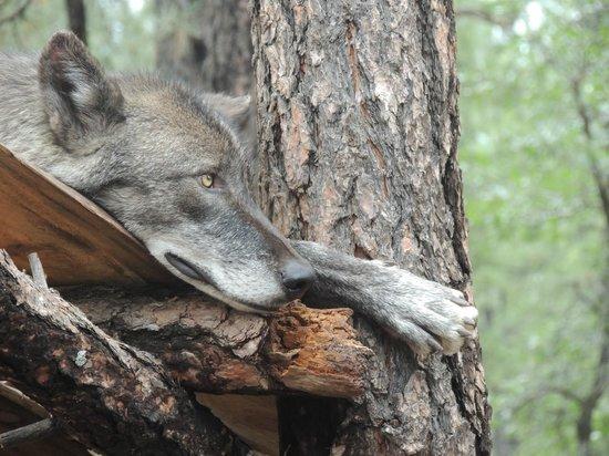 Bearizona Wildlife Park: Wolf