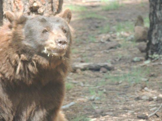 Bearizona Wildlife Park: Bear eating