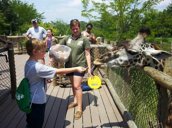 Cincinnati Zoo & Botanical Garden: The giraffe has a long tongue