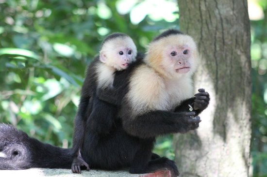 Gumbalimba Park: White faced capuchin monkeys
