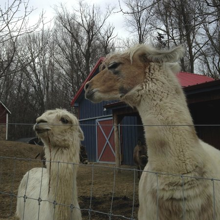 Buttermilk Falls Inn & Spa: Llamas at the farm