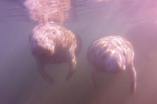 American Pro Diving Center : Crystal River Manatees January 2014