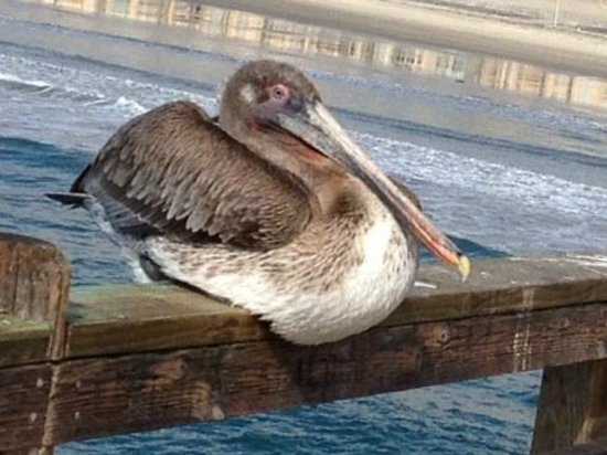 Oceanside Pier: Pelican on the Pier