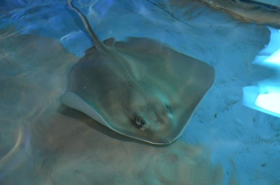 Clearwater Marine Aquarium: Sting ray