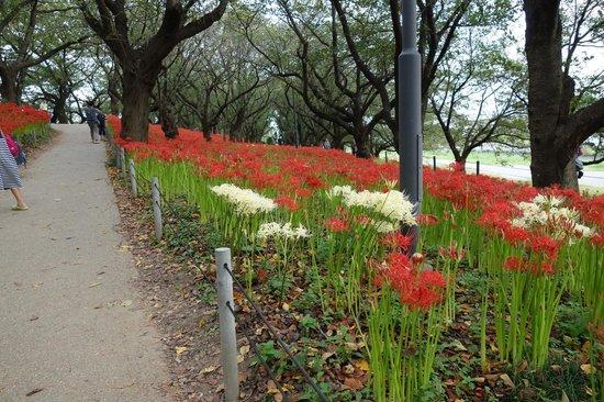 Gongendo Sakura Tsutsumi: 曼珠沙華