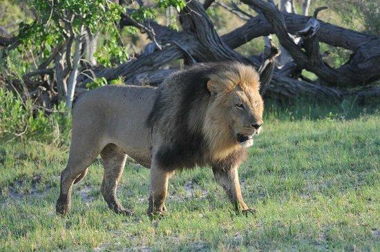 Maun, Botswana : Löwe