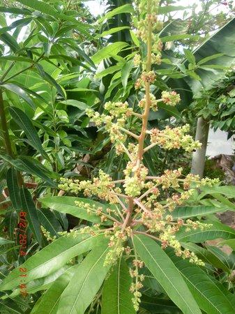 Chambres d´hotes La Romana: Fleurs de manguier
