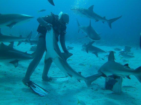 Stuart Cove's Dive Bahamas : Shark Wrangler
