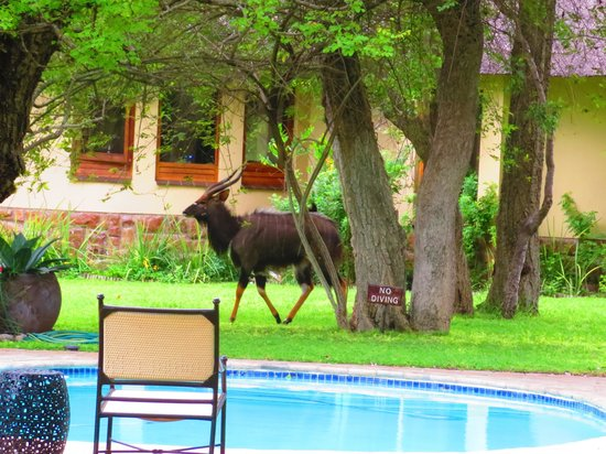N'kaya Lodge: a nyala near the swimming pool