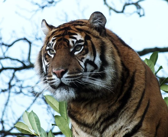 Chester, UK: magestic tiger