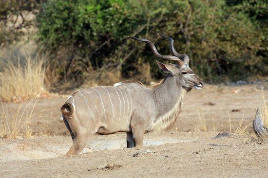 Zikomo Safari Camp: Kudu