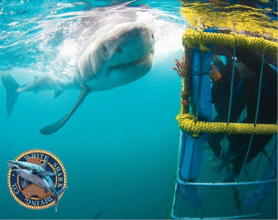 Gansbaai, Sudáfrica: Shark Cage Diving at its best