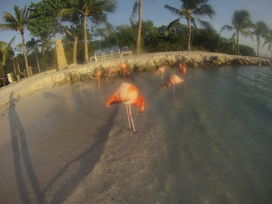 Renaissance Aruba Resort & Casino: Flamingos at the private island