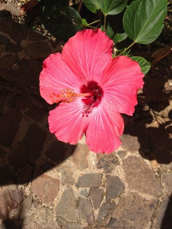 Mafolie Hotel: Hibiscus loving the view as well.