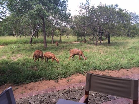 Kapama Southern Camp: grazing right next to the lodge