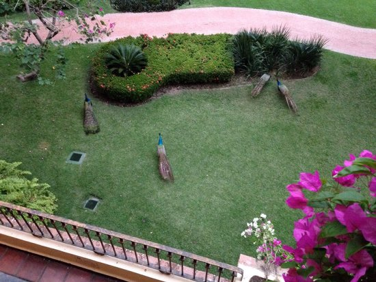 Velas Vallarta: Peacock party. Watch out it screams! Early morning like roosters. Omg we thought a cat was being