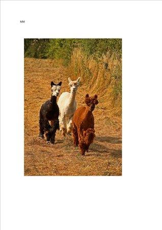 The Playbarn: Alpacas on the Childrens Farm