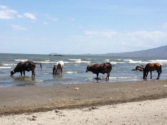 Finca San Juan de la Isla: cows passing through