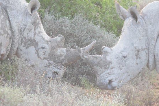 Shamwari Game Reserve Lodges: Rhinos debating