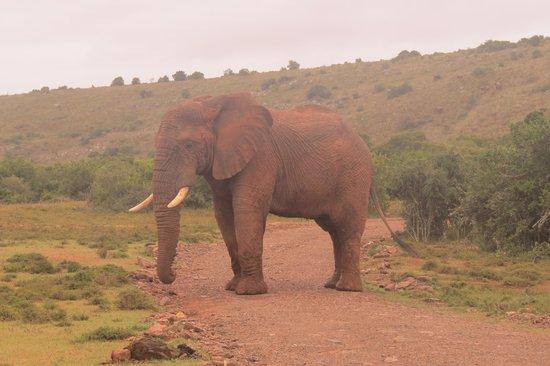 Shamwari Game Reserve Lodges: Avery big bull elephant