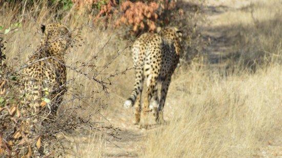 Little Garonga: Cheetah