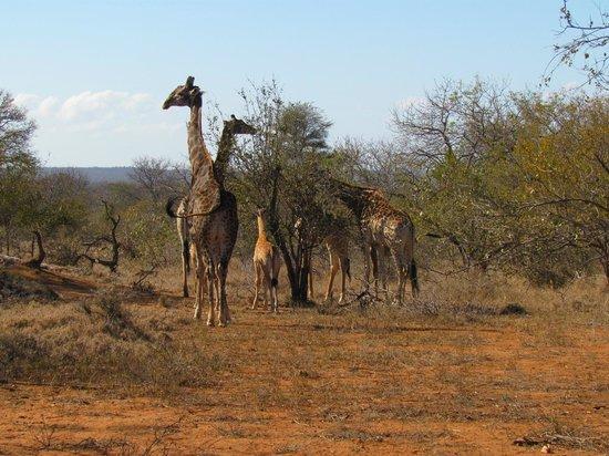 Little Garonga : Giraffes