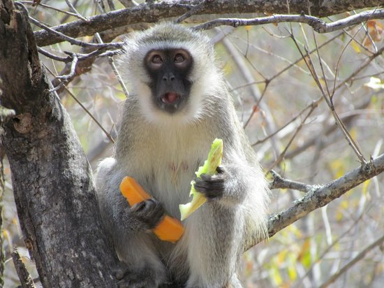 Little Garonga : Monkey thief - stole our fruit at breakfast