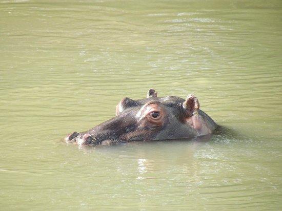 Little Garonga: hippo