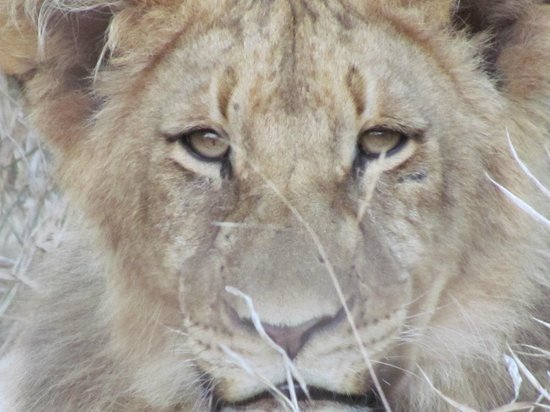 Little Garonga : lion