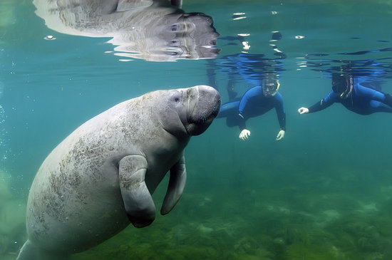 Crystal River, FL: Swim and Snorkeling with the Manatees
