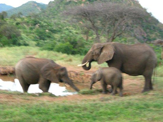 Ngulia Safari Lodge: Слоны на водопое