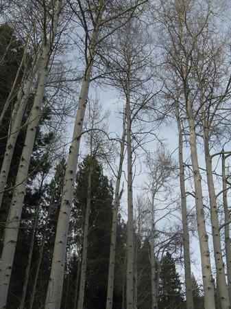 Lake Tahoe Nevada State Park : aspens