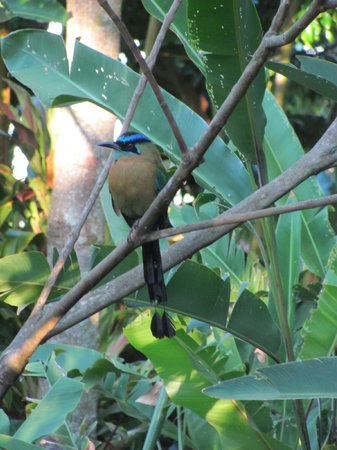 Xandari Resort & Spa : Blue-crowned motmot in the garden