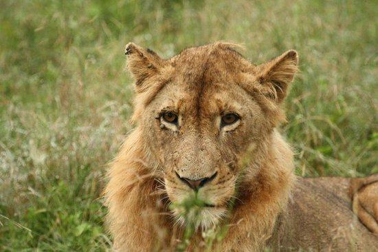 Hamiltons Tented Safari Camp: Lion