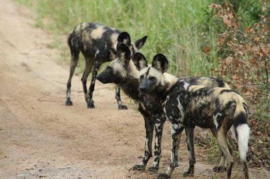 Hamiltons Tented Safari Camp: Lycaon