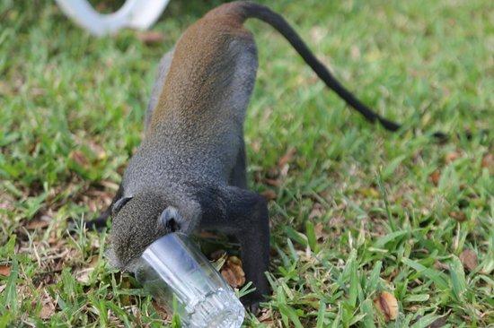 The Baobab - Baobab Beach Resort & Spa : monkey!