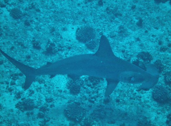 Lahaina Divers: Hammerhead