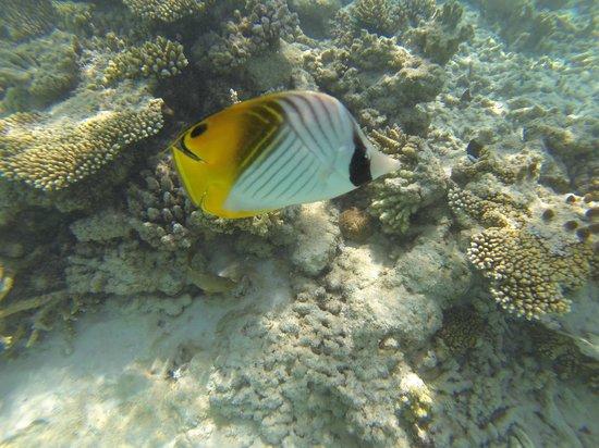 Filitheyo Island Resort : Fish on the House Reef