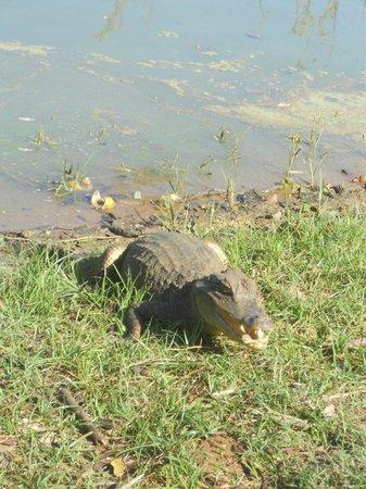 Laguna Big Pond: Babillas, nonbre de estos reptiles