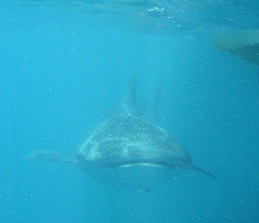 Diving Bluetribe Moofushi: Whale shark