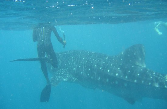 Diving Bluetribe Moofushi: Whale shark and snorkeler