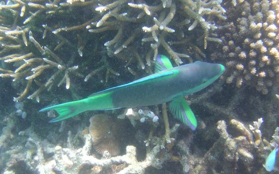 Diving Bluetribe Moofushi: Parrot Fish