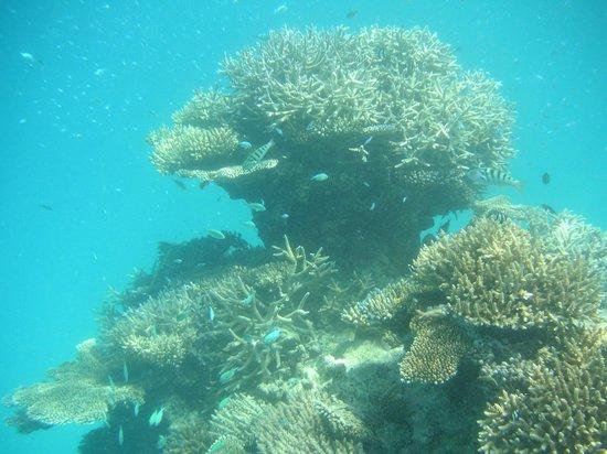 Diving Bluetribe Moofushi: Coral reef fish
